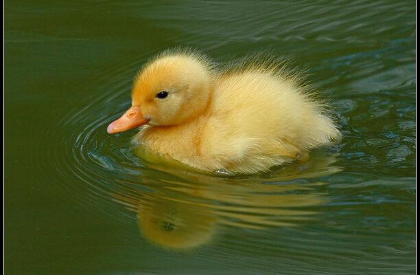 Fuzzy_Duck_by_nitsch